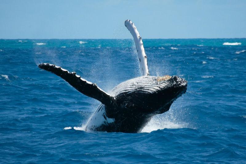 В Доминикану, посмотреть на горбатых китов