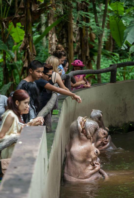 Бегемоты в зоопарке Чианг Май