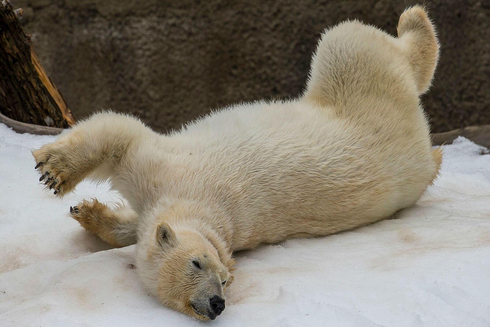 Белые медведи в зоопарке Сан-Диего