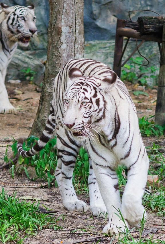 Белый тигр в зоопарке Чианг Май