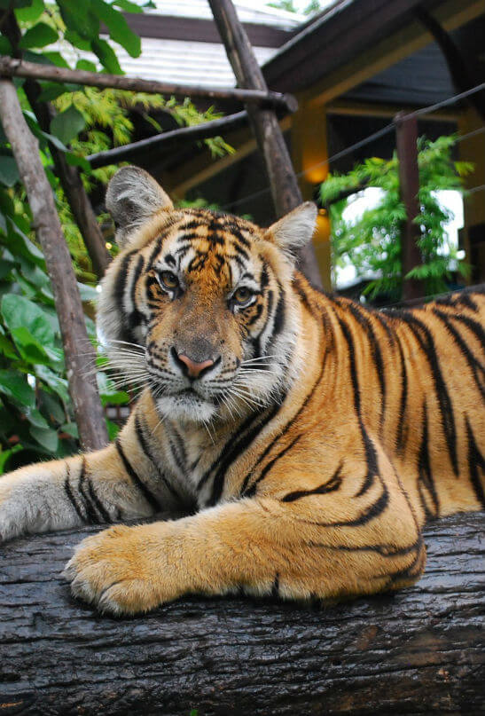Тигр в зоопарке Чианг Май
