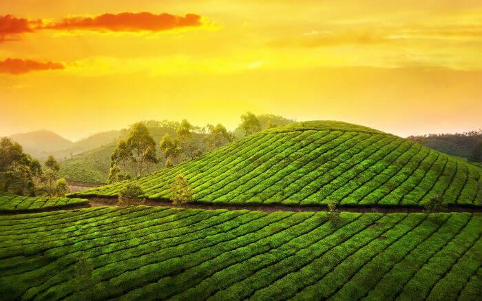 Чай в Адыгее
