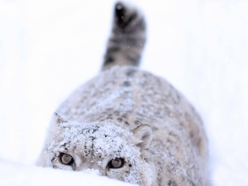 Путешествие к снежным барсам