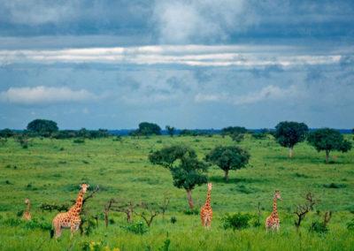 Группа жирафов в заповеднике Конго