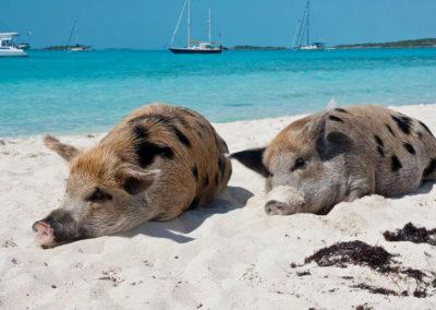 Морские свиньи на Багамах