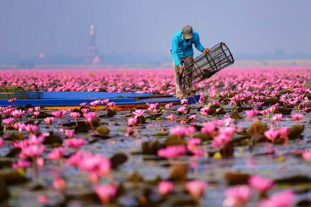 Цветение розового лотоса