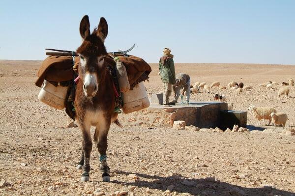 Осел в Сахаре