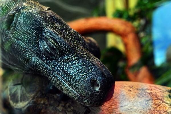 Индонезия закрывает для туристов остров драконов Комодо