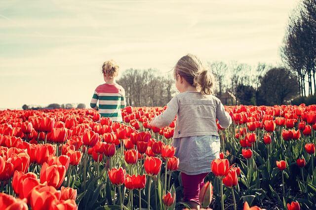 Тюльпановые поля страдают от туристов