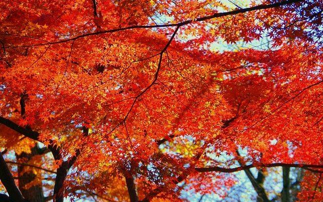 Япония ждет гостей на сезон любования красными кленами