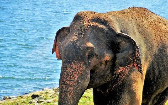 На Шри-Ланке туристы до смерти «укатали» слона