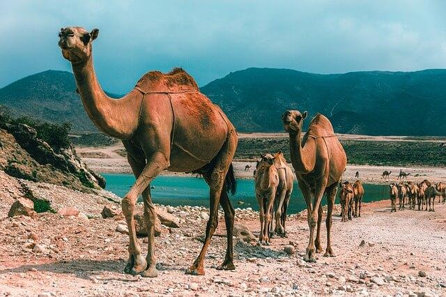 Верблюды в Омане