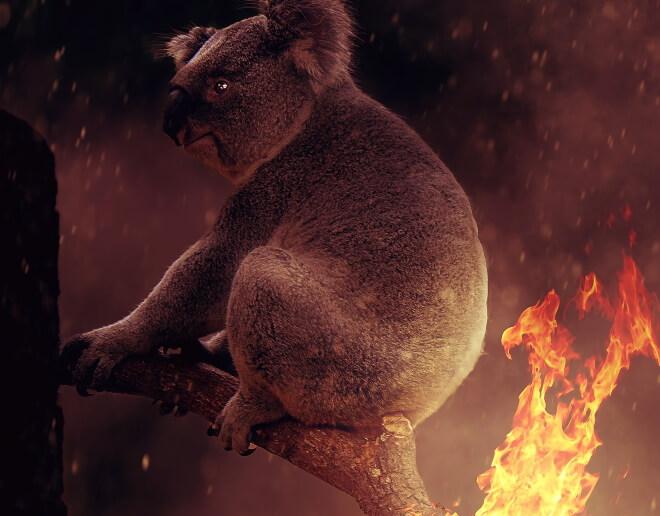 коала пожар Австралия