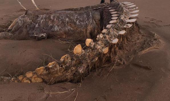 Скелет неизвестного животного выбросило из моря в Шотландии