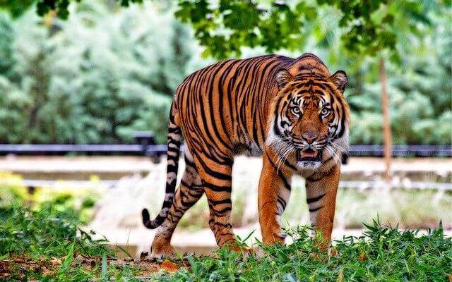 В зоопарке Нью-Йорка животные заболели коронавирусом