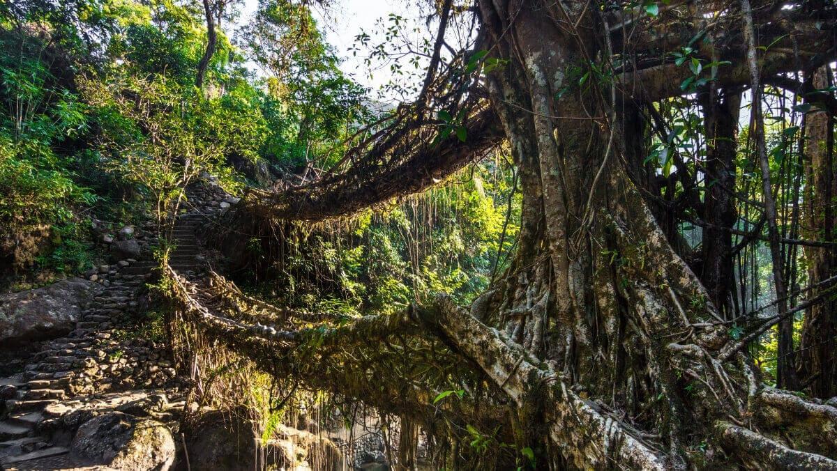Мост в Индии из растения