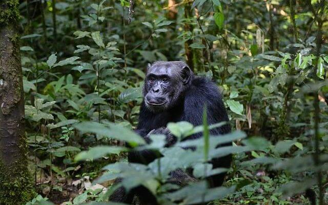 Власти Уганды просят туристов держаться подальше от горилл и шимпанзе