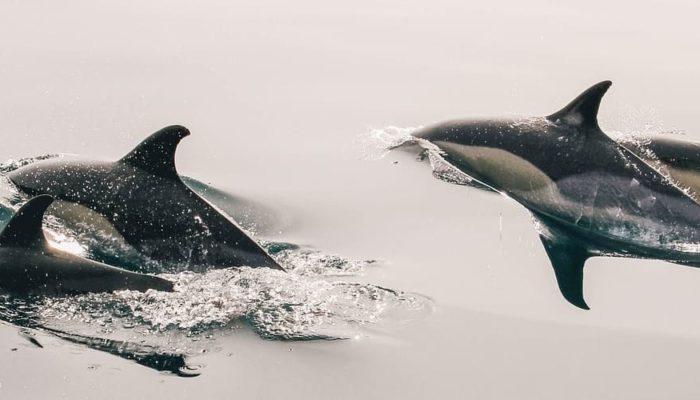 На Фарерских островах по традиции китобои убили почти полторы тысячи дельфинов