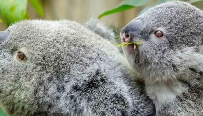 Коалы в Австралии находятся под угрозой исчезновения