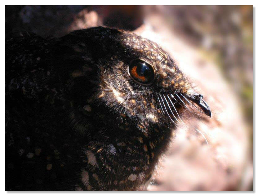 Птица гуахаро
