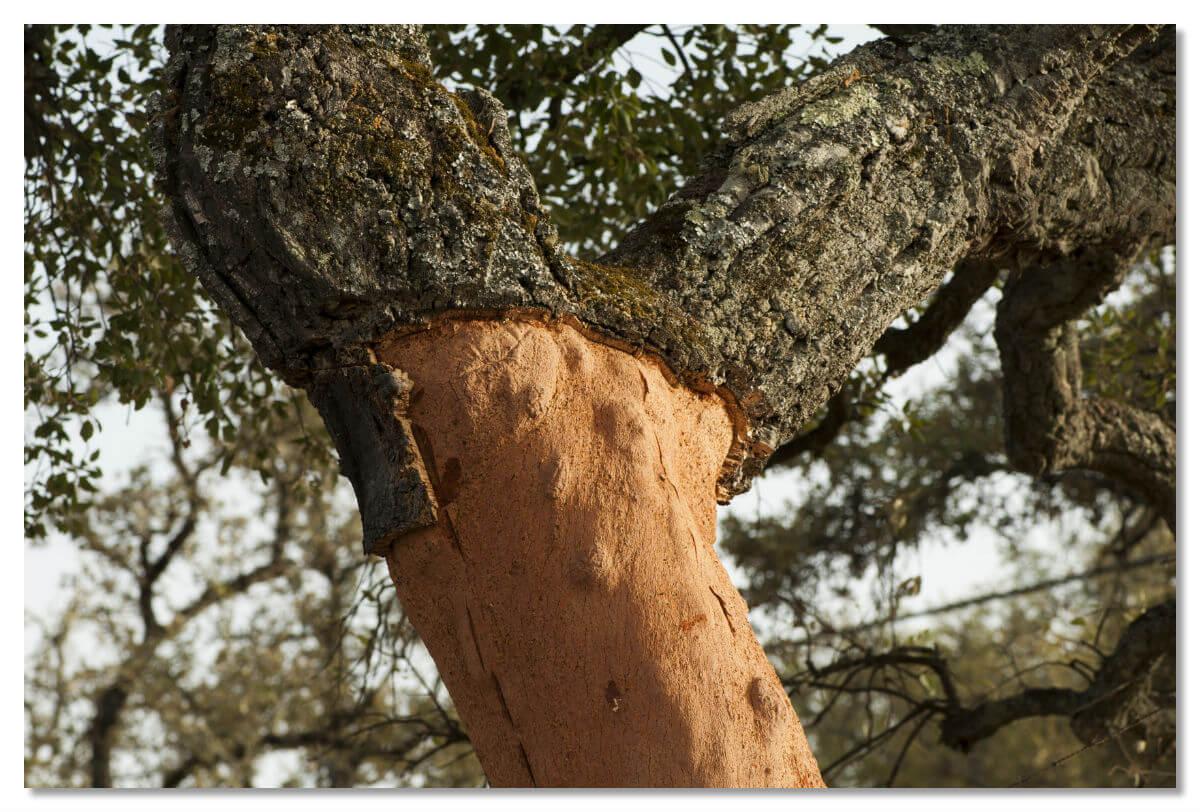 Удивительным свойством пробкового дуба «обновлять кору после ее снятия» восхищался еще отец ботаники греческий философ Теофраст (4 – 3 вв. до н.э.).