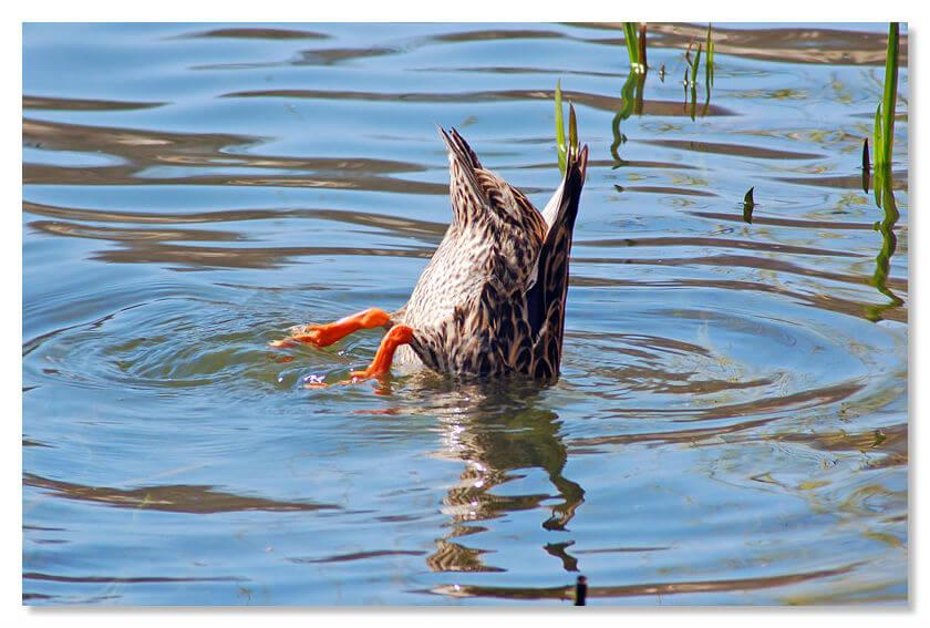 В городке Фолиньо (регион Умбрия) введен штраф за кормление голубей и уток