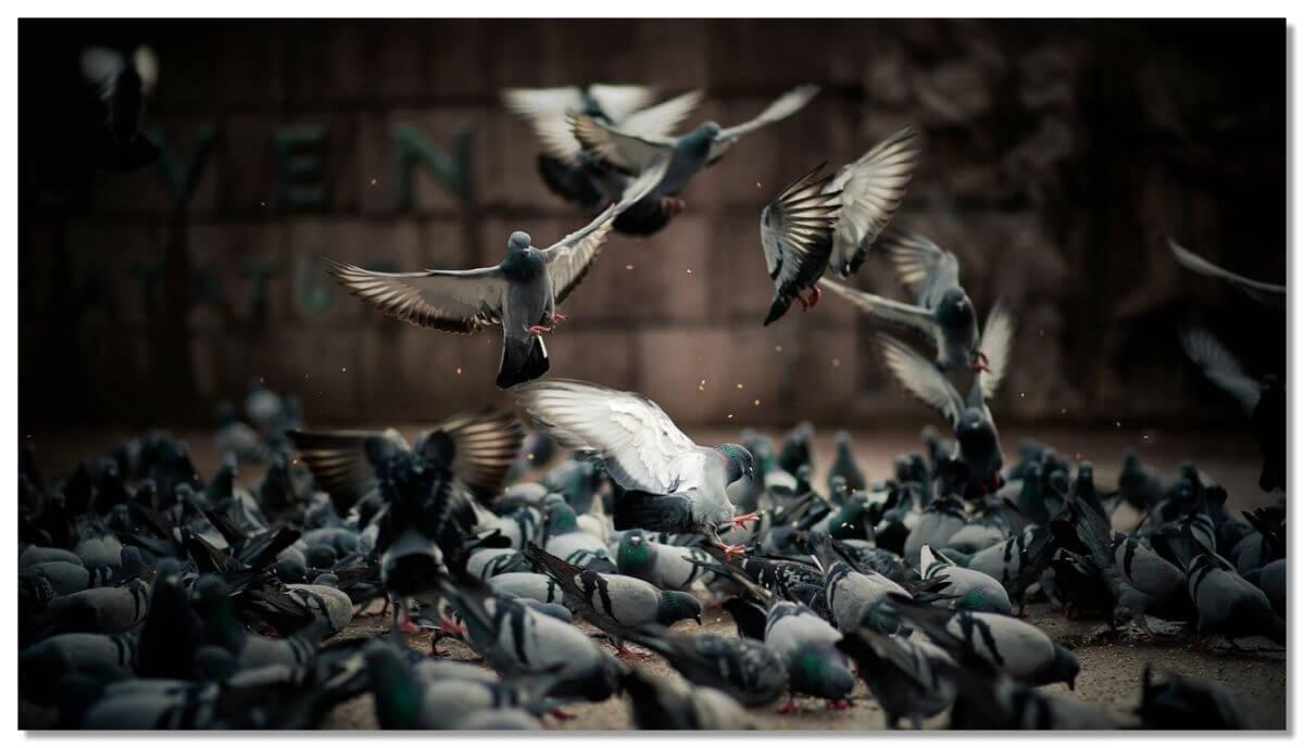 Кормление голубей запрещено во многих странах