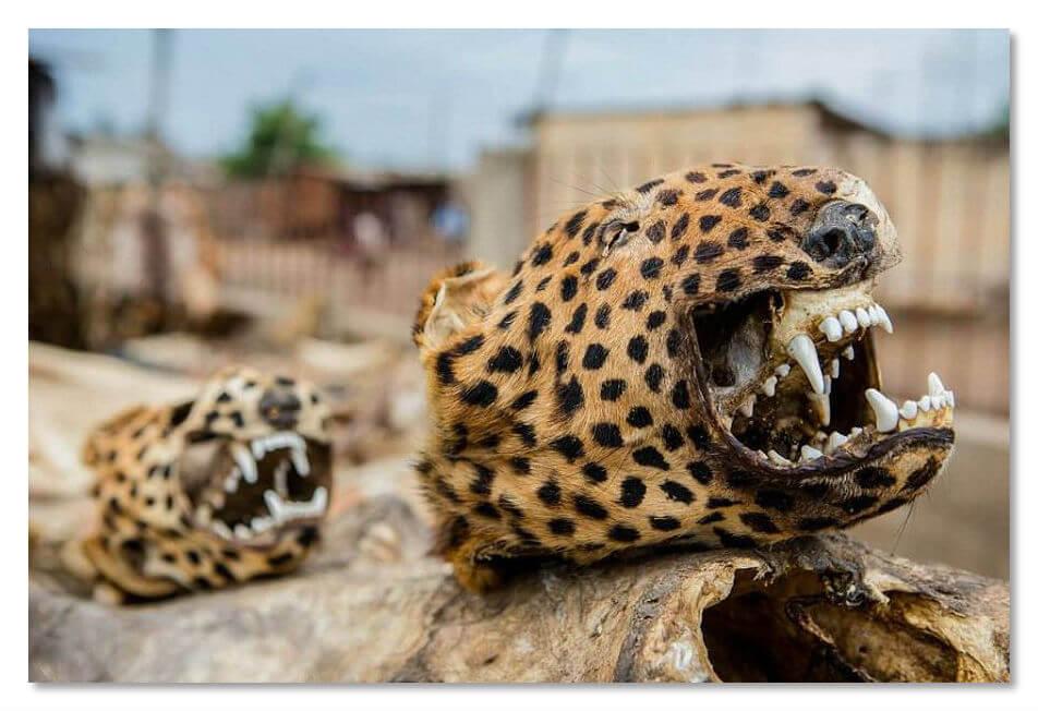 Гловы леопардов, хвосты обезьян, зубы крокодилов, клювы птиц, всё это легко можно приобрести на магическом базаре
