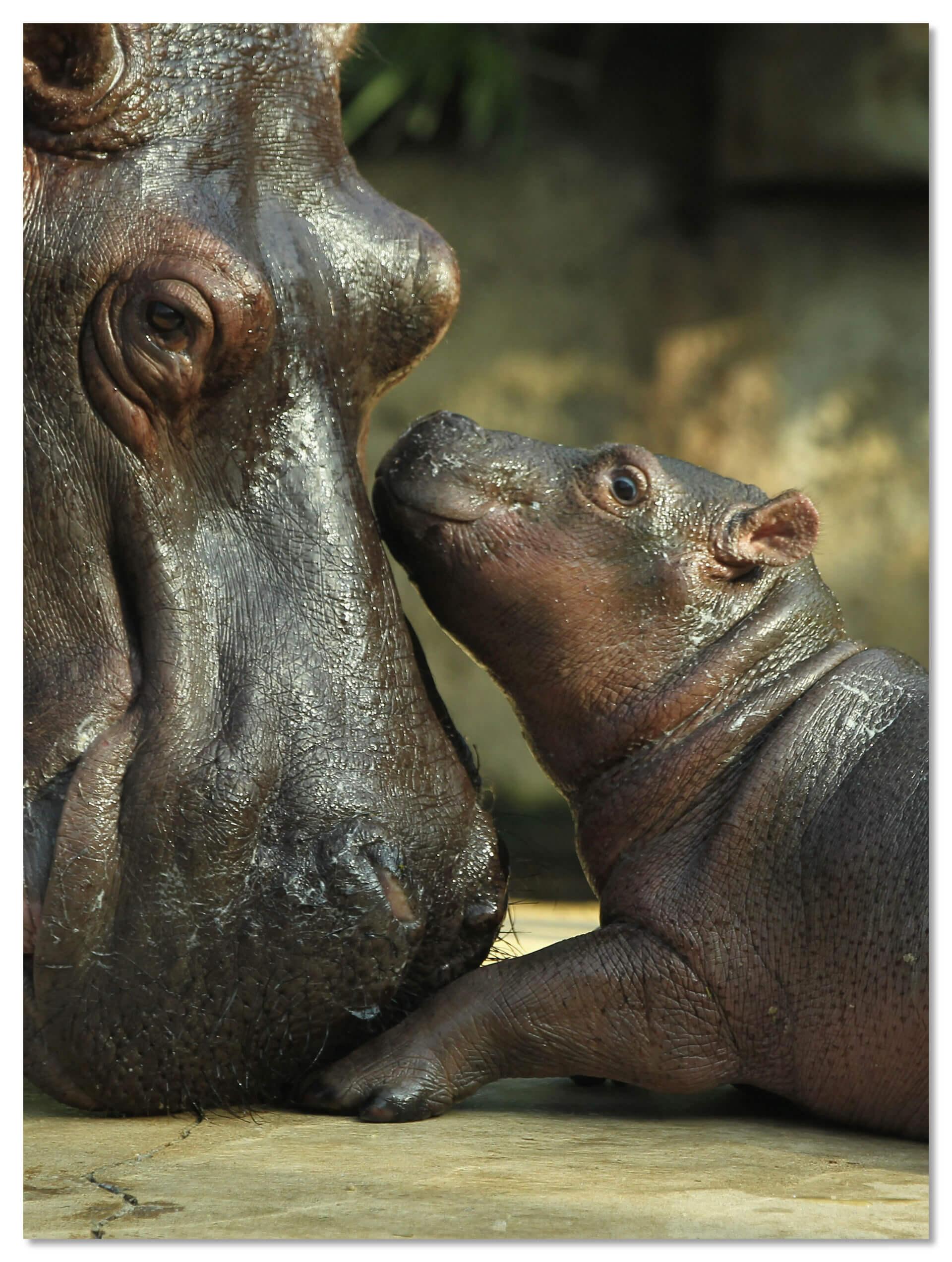 Гиппопотам в Берлинском зоопарке
