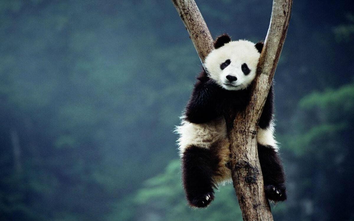 Саламандра и панды теперь будут жить в Московском зоопарке