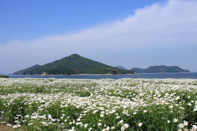 В Японии зацвели ромашки