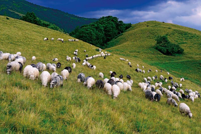 Побыть пастухом